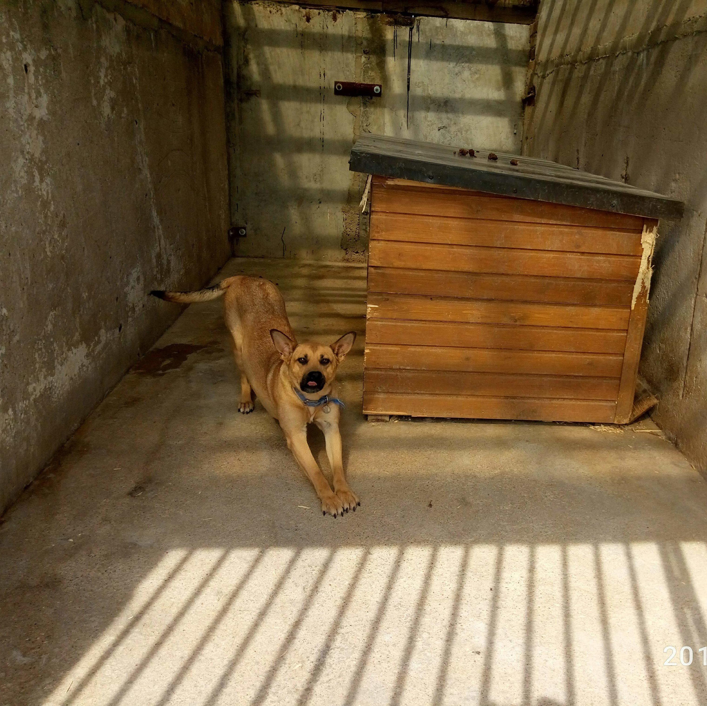 Альфа очень дружелюбная собака, среднего размера, привита, стерилизована. Ждёт вас в приюте для животных