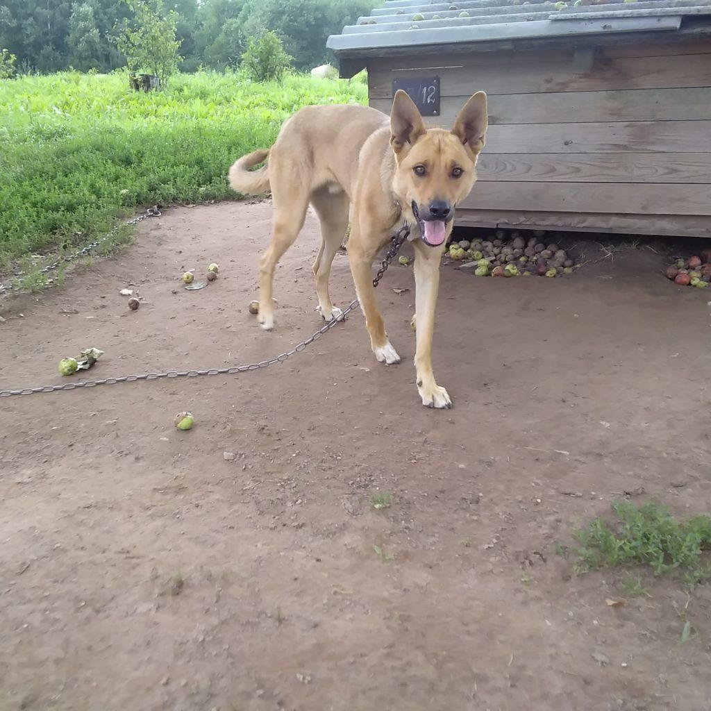 """Dzīvnieku patversmē """"OTRĀ MĀJA"""" atrodas suns Arči. Iespējams, viņš ļoti gaida tieši Jūš!"""